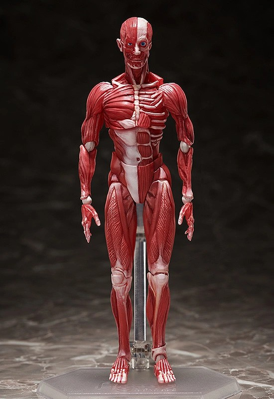 figma 人体模型 フリーイング 可動フィギュアが予約開始!人体の構造を細部まで再現! 0831hobby-jintai-IM001