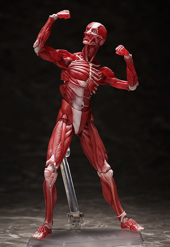figma 人体模型 フリーイング 可動フィギュアが予約開始!人体の構造を細部まで再現! 0831hobby-jintai-IM003