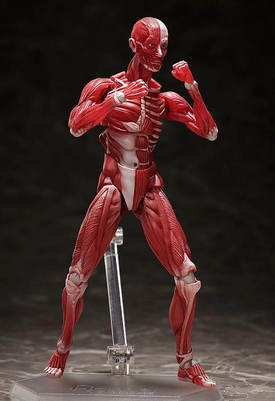 figma 人体模型 フリーイング 可動フィギュアが予約開始!人体の構造を細部まで再現! 0831hobby-jintai-IM005